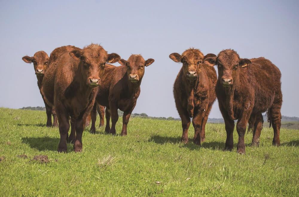 Stockfeed - Beef