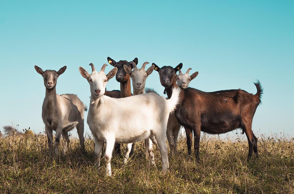 Stockfeed - Goat