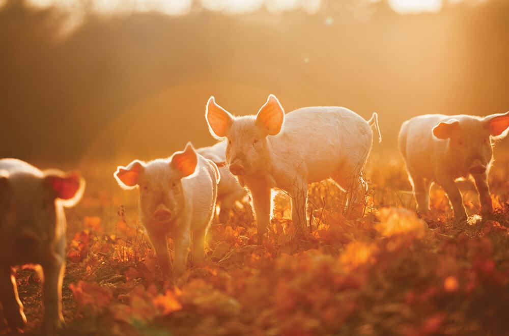 Stockfeed - Pig